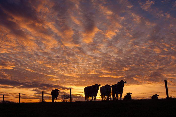 Door het lage standpunt steken de koeien mooi af tegen de gekleurde lucht