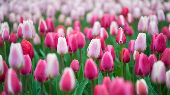 Tulpen in de Keukenhof in Lisse