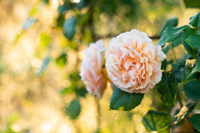 Achter de rozenstruik heeft de sproeier aangestaan. Door het tegenlicht en de druppels ontstaan er bokehbollen op de achtergrond.