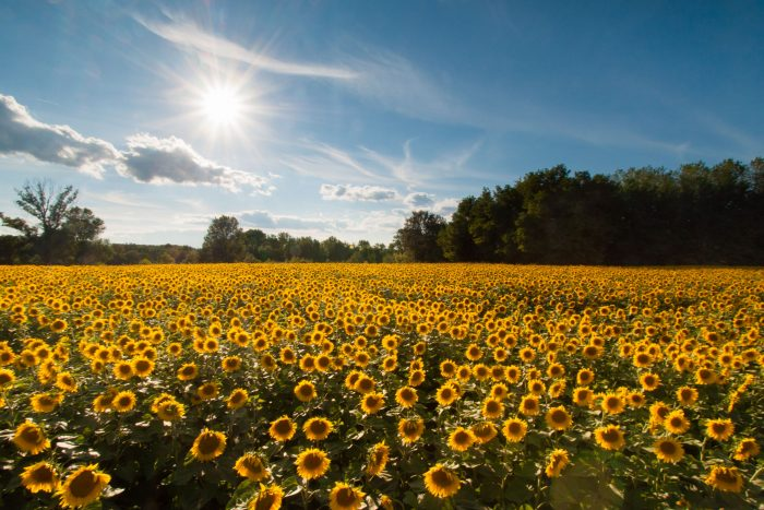 Bloemenveld fotograferen