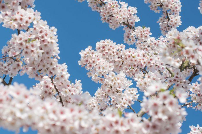 Roze of lichtroze bloesem valt in de foto automatisch iets meer op dan witte bloesem.