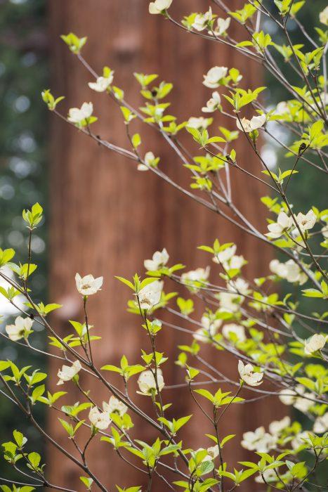 Bloesem achtergrond Sequoia