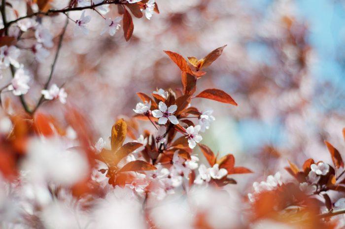 Bloesem fotograferen in de lente