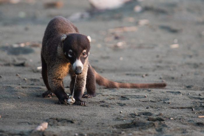 De schildpaddeneieren vind de neesbeer (in het Engels: coati) heerlijk! Wildlife fotografie ten top!