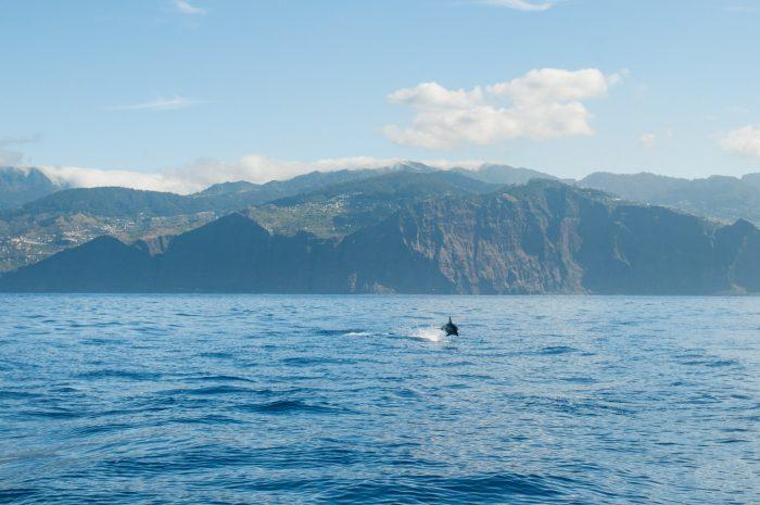Deze dolfijn zwom en sprong helaas verder weg. In zo'n situatie is een lange lens wel handig natuurlijk!