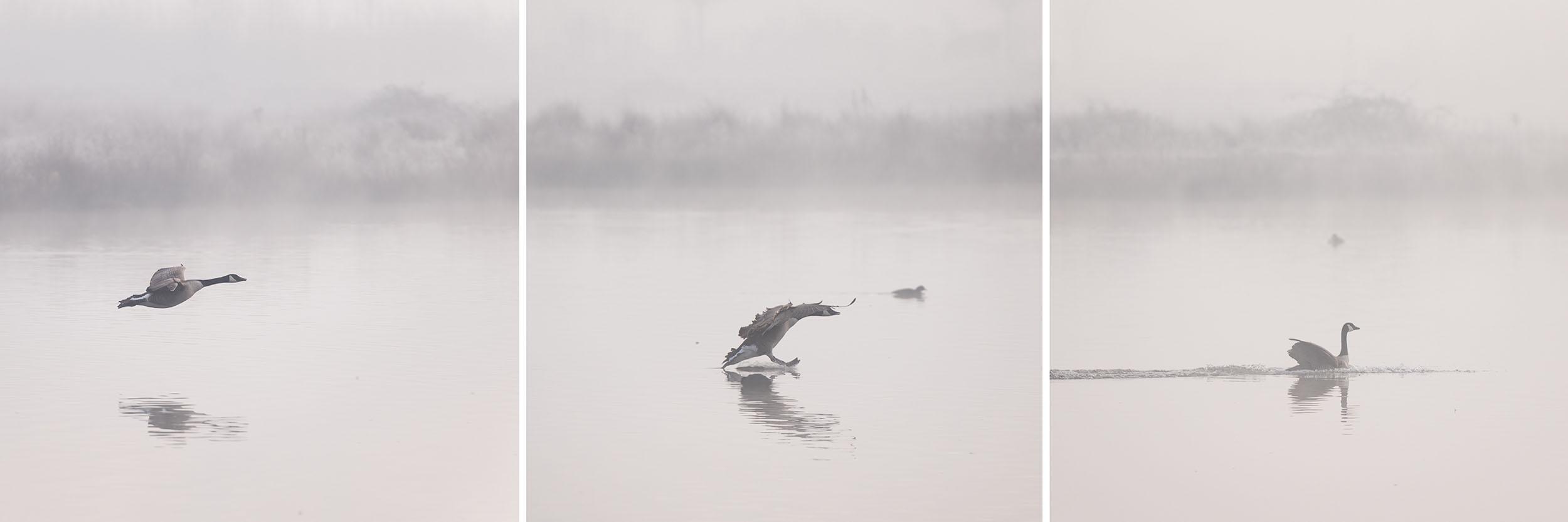 Drie foto's van een gans die op een mistige ochtend landt op het water