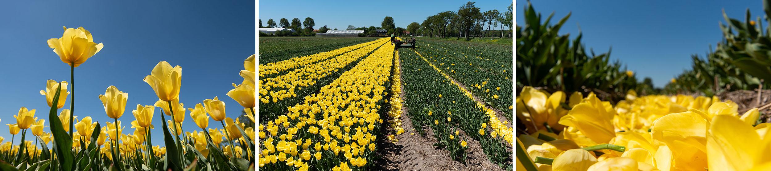 Gele tulpen die gekopt worden
