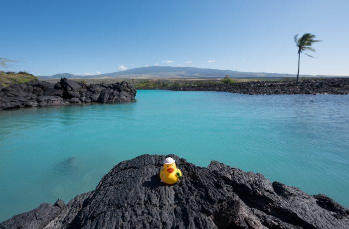 Ducky op Big Island of Hawaii. De zwarte ondergrond is uitgeharde lava.