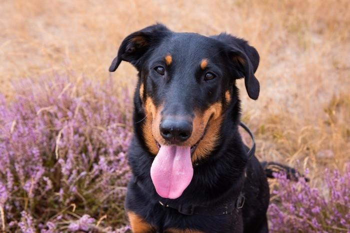 En ook mijn hond JJ moet met wat plukjes paarse heide op de foto!