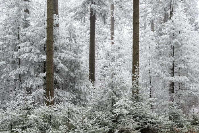 Berijpte bomen met silhouetten van boomstammen