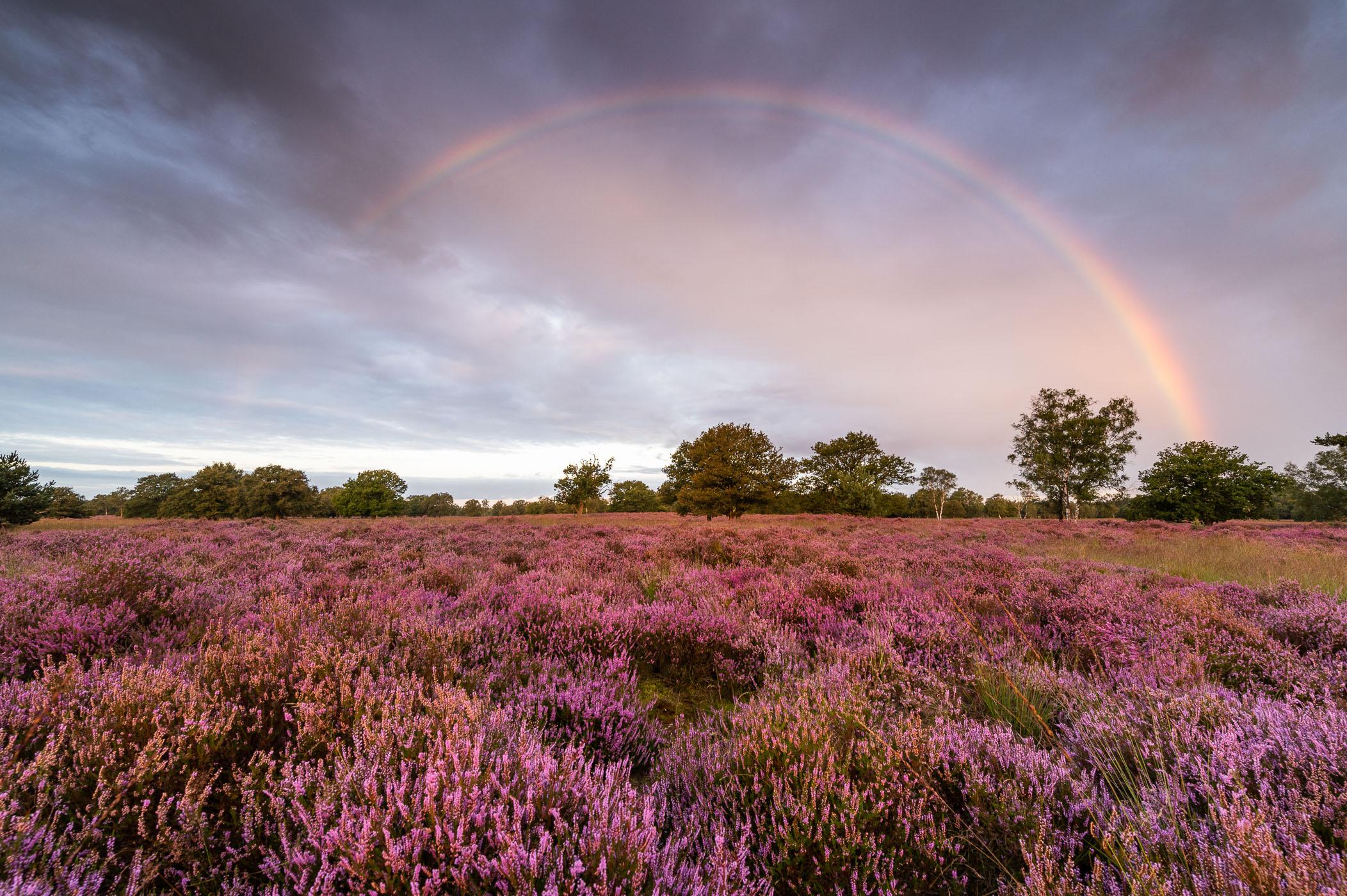 Paarse heide met bomen en regenboog