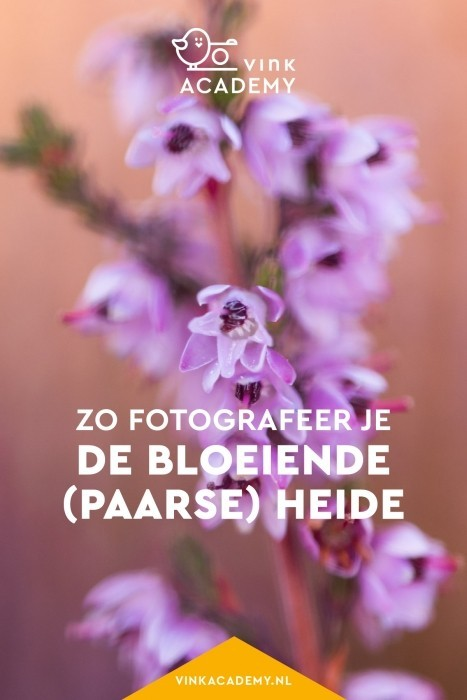 Bloeiende paarse heide in Nederland fotograferen: Posbank, Veluwe en andere plekken