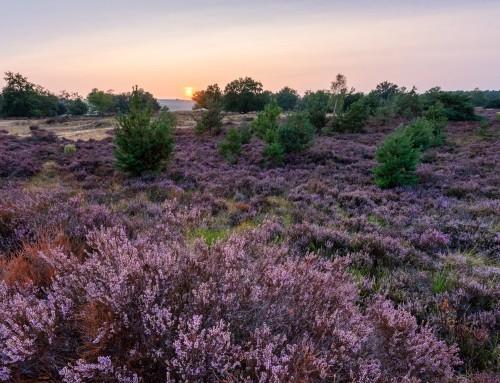 Tips voor het fotograferen van de paarse heide