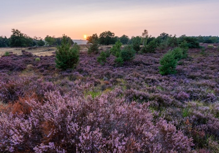 Heide gefotografeert tijdens zonsondergang