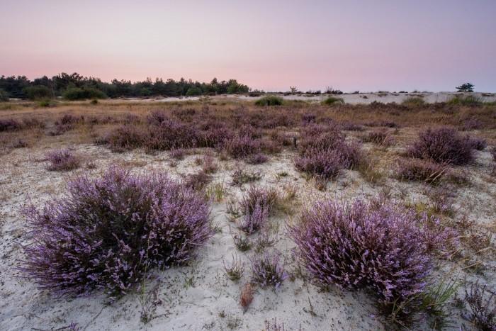 De heide planten staan mooi op de voorgrond. De lucht kleurde mooi roze vlak na zonsondergang.