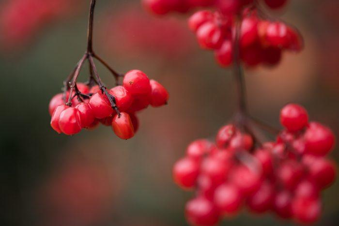 Rode besjes in de herfst