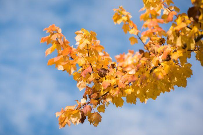 De gele bladeren vormen een mooi contrast met de blauwe lucht
