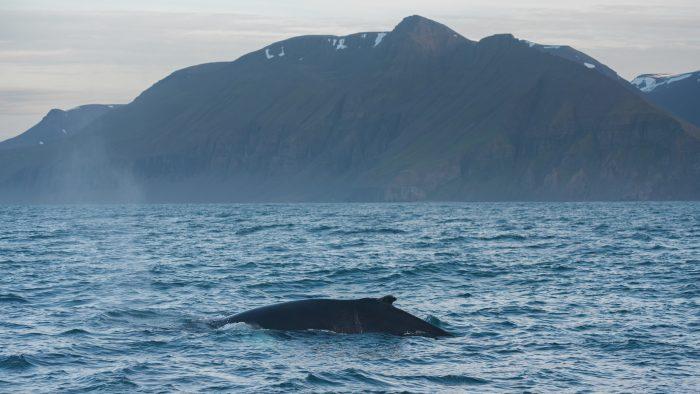 Een bultrug walvis gefotografeerd in IJsland. De vorm van de bult past mooi bij het fjord in de achtergrond.