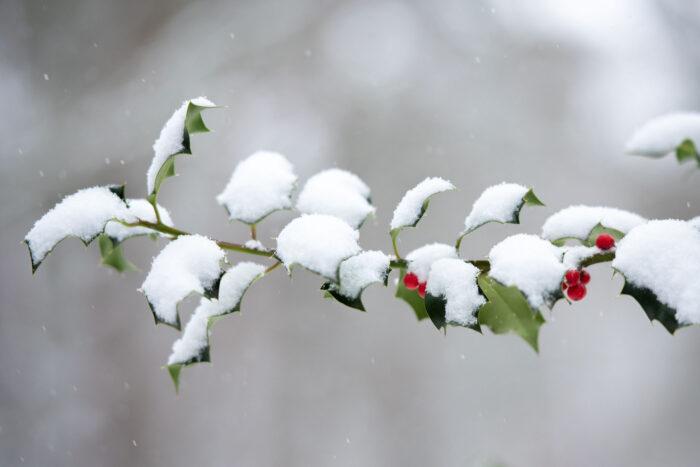 Hulsttakken bedekt met sneeuw