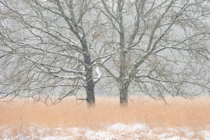 Twee bomen die gespiegeld lijken, gefotografeerd tijdens een sneeuwbui