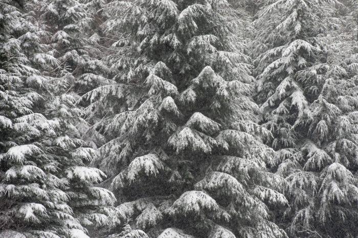 Verse sneeuw op de dennentakken.