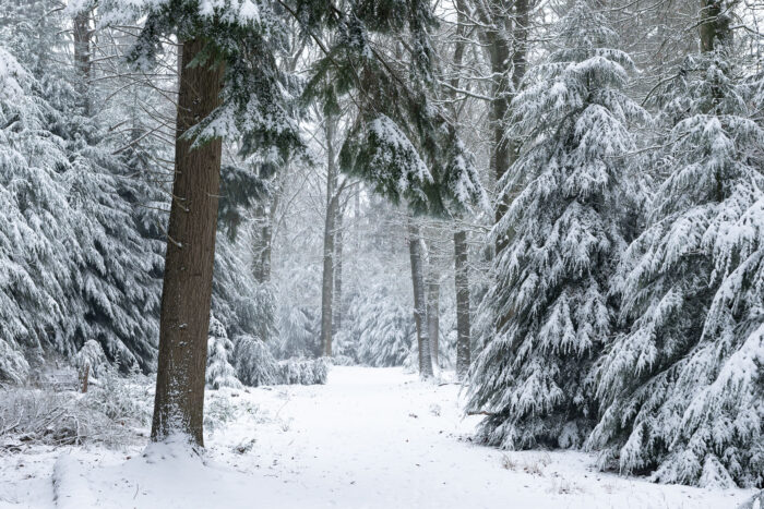 Bospaadje met dennebomen in de sneeuw