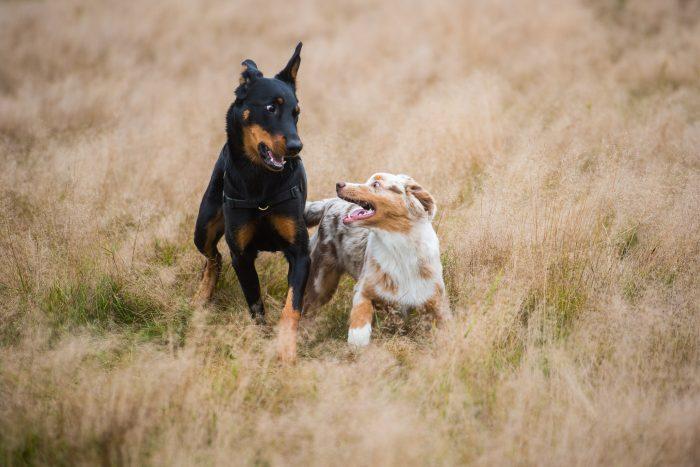 Spelende honden samen fotograferen.