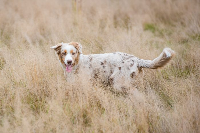 De omgeving met het hoge gras past goed bij de vacht van deze hond. Maar helaas is het gras net iets te hoog en zit het voor de kop.