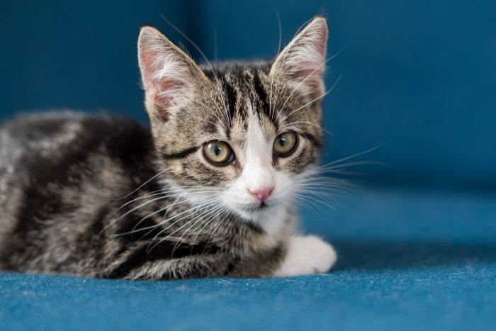 Foto van kat op blauwe bank