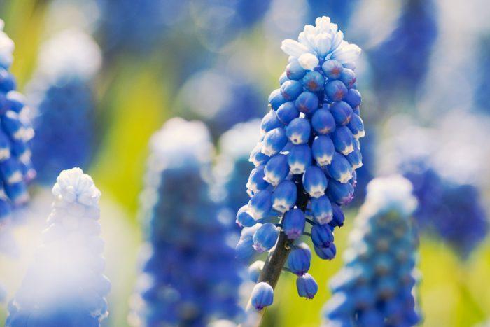 Blauwe druifjes fotograferen op de Keukenhof