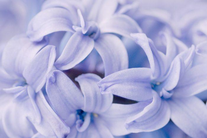 Hyacinten fotograferen bij keukenhof