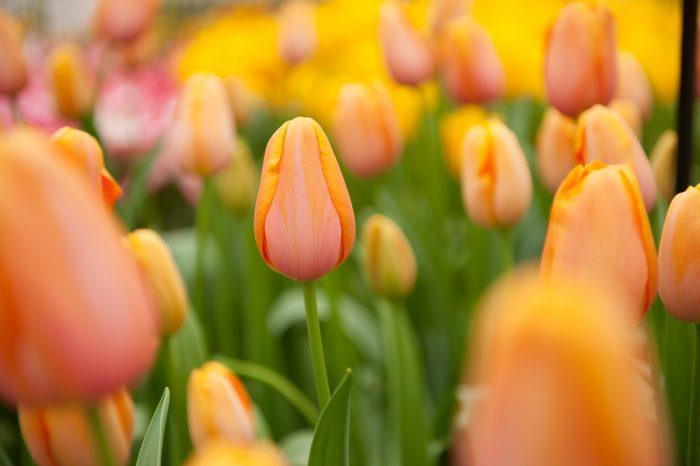 Tulpen fotograferen op de Keukenhof