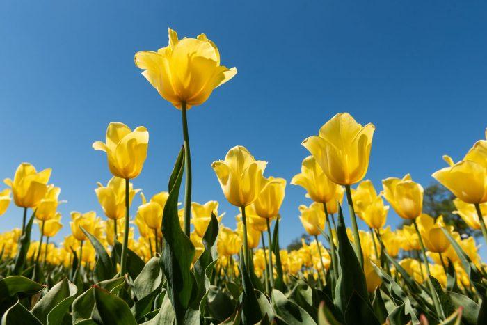 Laag standpunt zodat de gele tulpen mooi afsteken tegen de blauwe lucht.