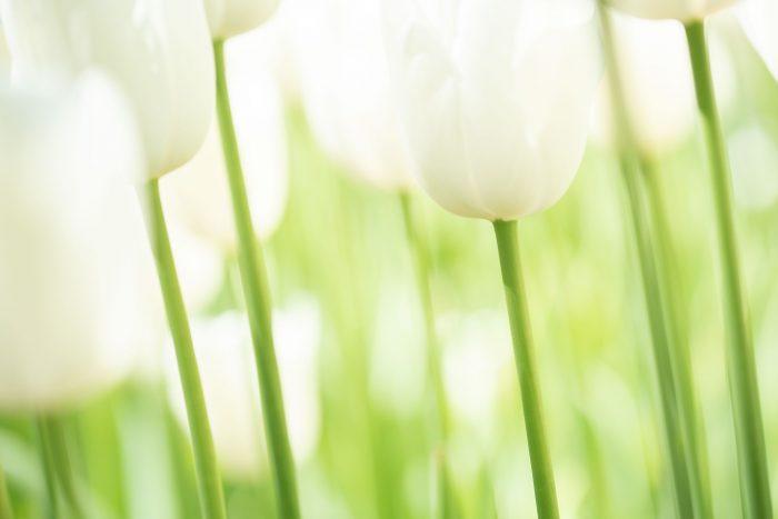 Witte tulpen Keukenhof