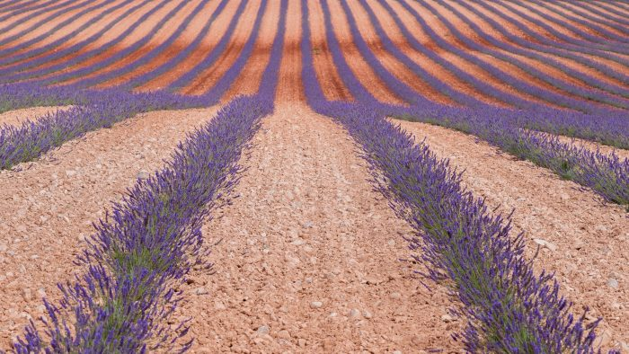 Lavendelveld in Zuid-Frankrijk