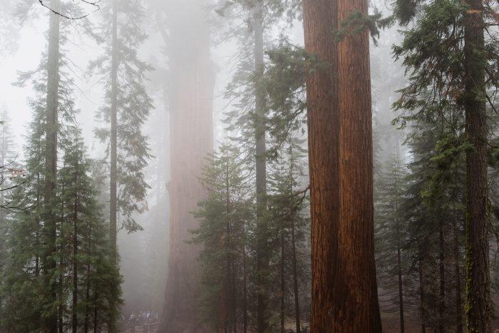 Reuzenbomen in Sequoia National Park, Verenigde Staten. De mist geeft de foto een mystieke sfeer.