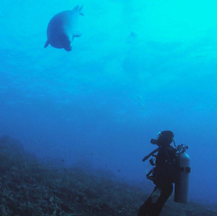 Die duiker, dat ben ik. En vlak voor mij zwemt een (zwangere) Hawaiiaanse monniksrob: het zeldzaamste zoogdier van de VS!