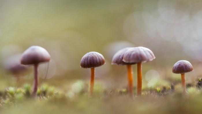 Kleine paddestoelen met een paarse hoed.