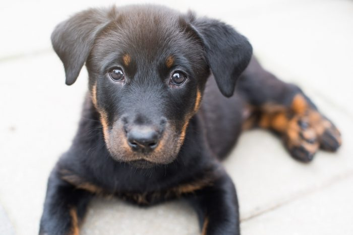 Beauceron puppy van 7 weken oud. Wat een schatje he?!