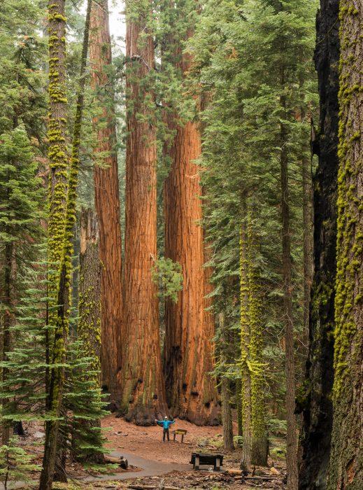 Rabin voor de gigantische Sequoiabomen.