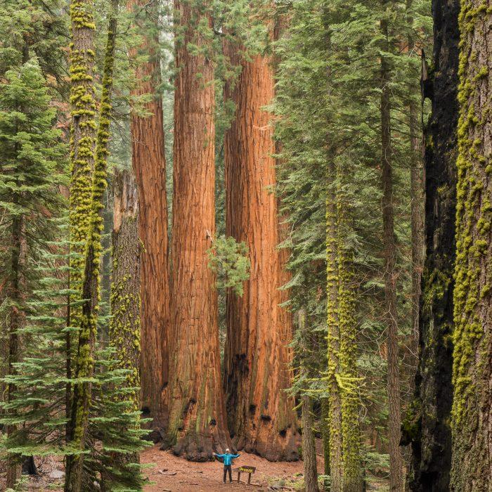 Grote bomen in Sequoia