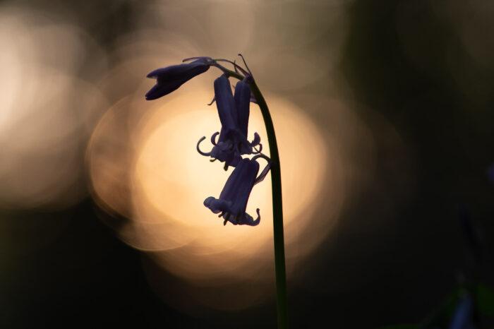 Silhouet van wilde hyancint (blue bell)