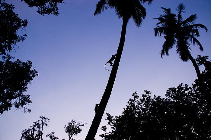 Silhouet van aapjes