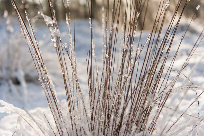 De sneeuw op de sprietjes is bijna gesmolten. Ga op een zonnige dag er daarom op tijd uit!