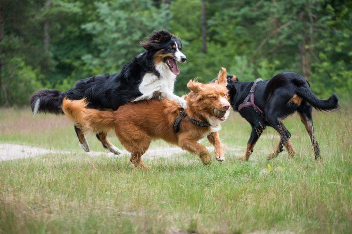 Fotografeer spelende en rennende honden met een korte sluitertijd. Voor deze foto stelde ik een sluitertijd van 1/1500s in.