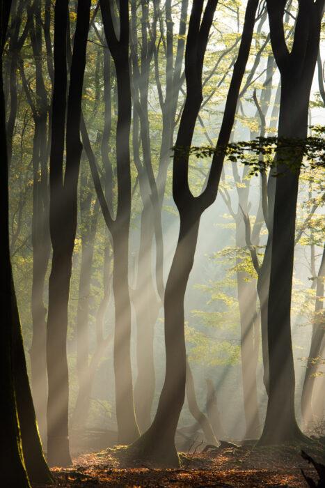 Bos met mist en zonlicht (zonneharper), de boomstammen zijn silhouetten