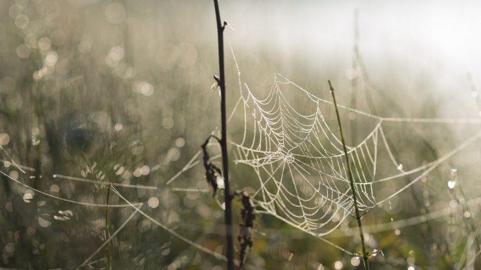 De bokeh in deze foto zijn de dauwdruppels op de planten achter het spinnenweb.