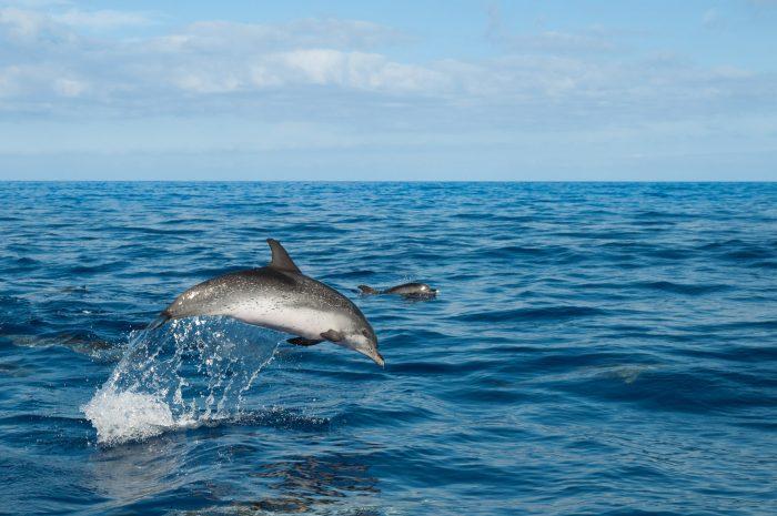 Een springende dolfijn, net naast de boot