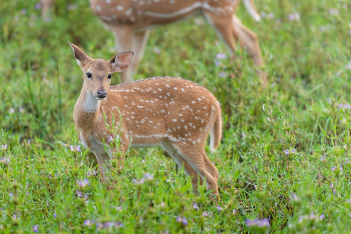 Axishert (spotted deer). Kijk eens wat een schatje?