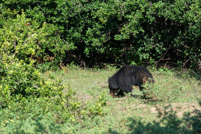 Mijn beste wildlife foto van de lippenbeer (sloth bear). Hard licht, (te) ver weg en hij loopt net weg.